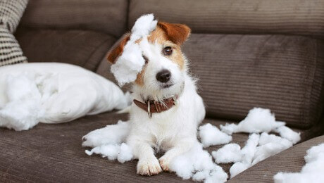 Jack Russell ripping up pillow
