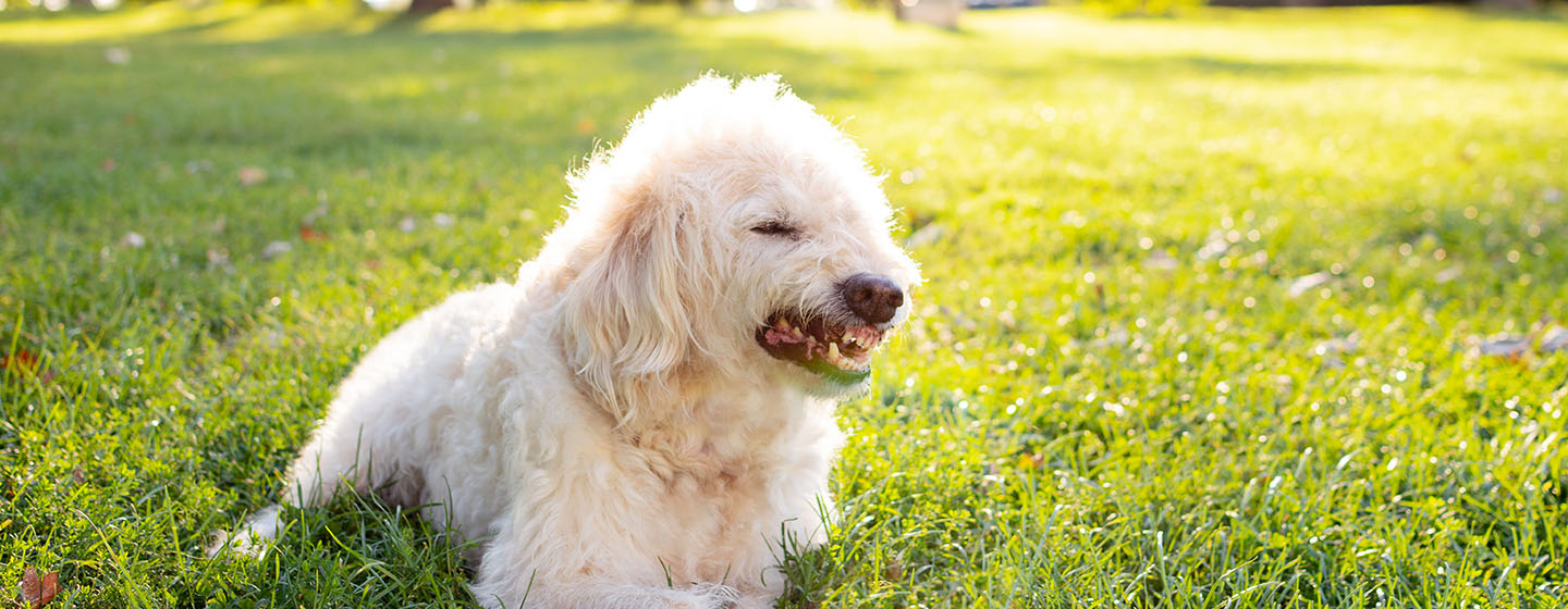 white dog growling in park