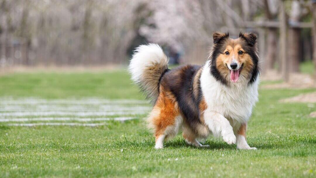 Shetland Sheepdog with tongue out running.