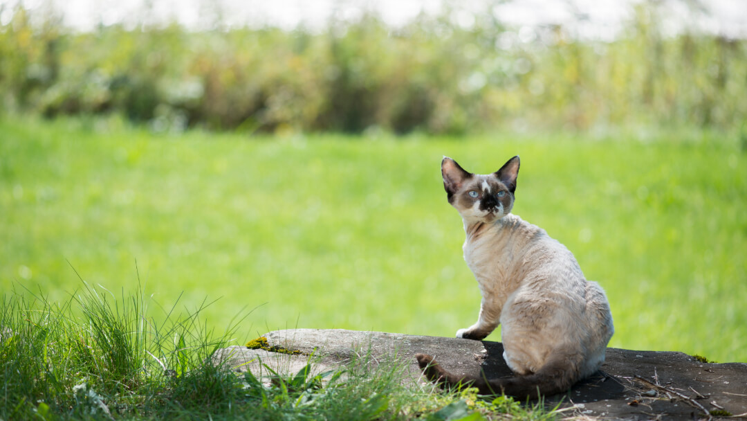 Cornish Rex sitting on a log.