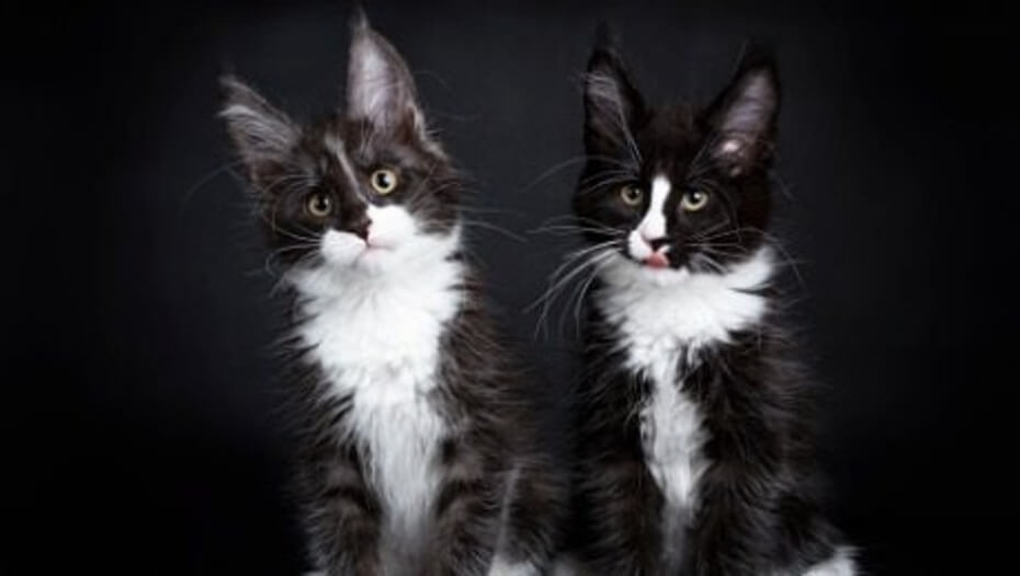 Two black and white Maine Coon cats