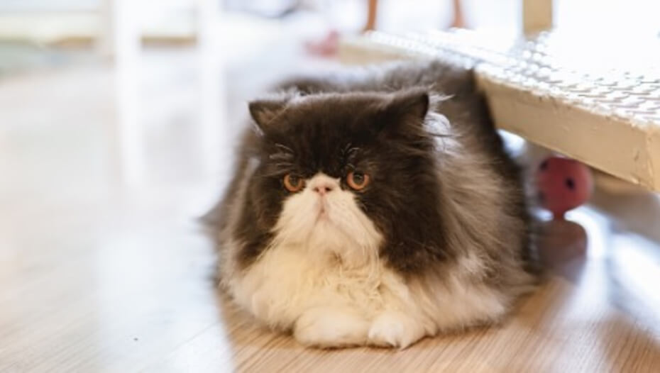 Black and white Persian cat lying down on wooden floor