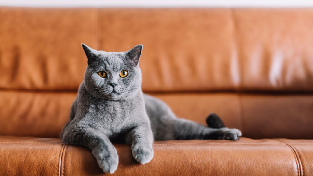 British shorthair cat lying on brown leather sofa