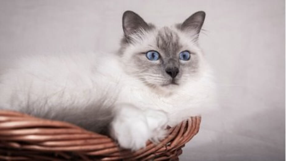 Light Birman cat lying in a basket.