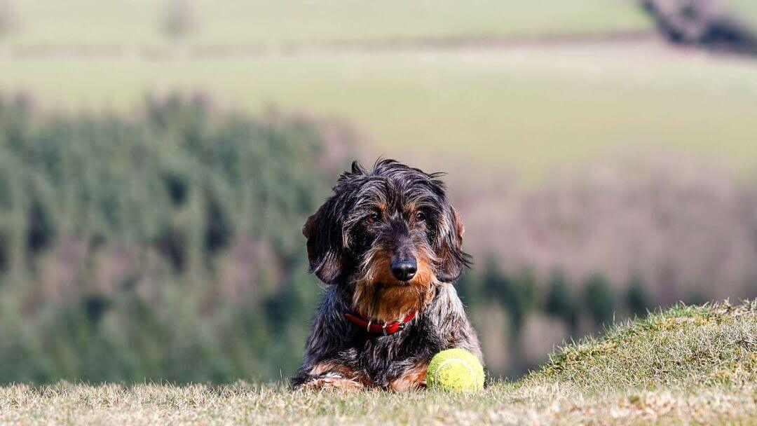 Wire-Haired Dachshund lying down on a hill next to a ball