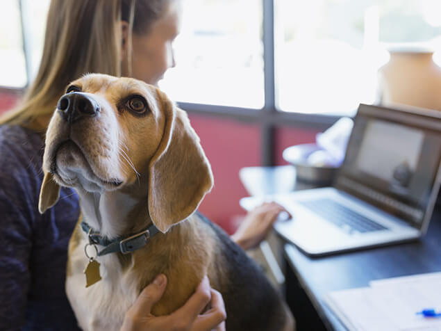 Beagle sat on owners lap whilst she works