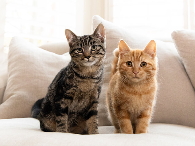 Brown and Ginger Tabby cats sitting on sofa