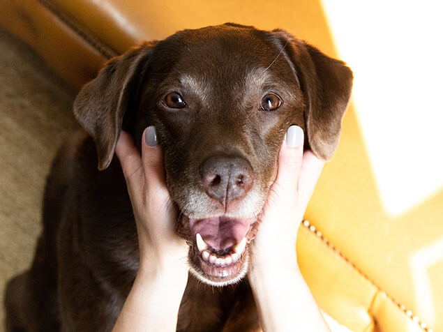 Older dog in owners hands