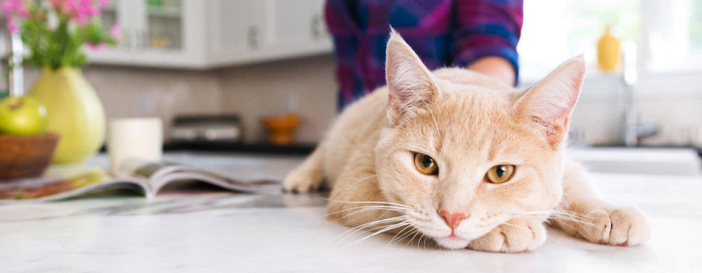 Cat lying on kitchen table