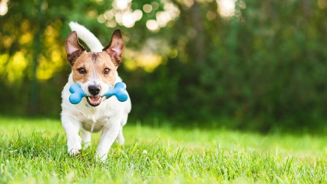 Brown and white Jack Russell Terrier running towards camera with blue toy.
