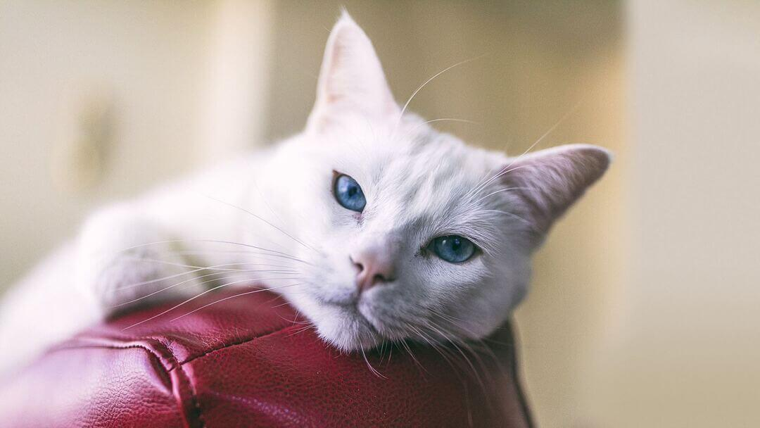 White cat with blue eyes on red leather chair.