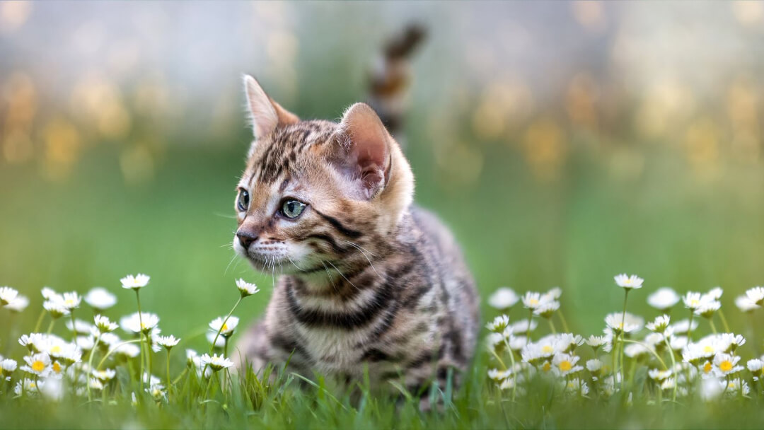 Bengal Kitten lying in the daisies.