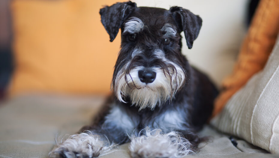 Black terrier with white beard lying down.