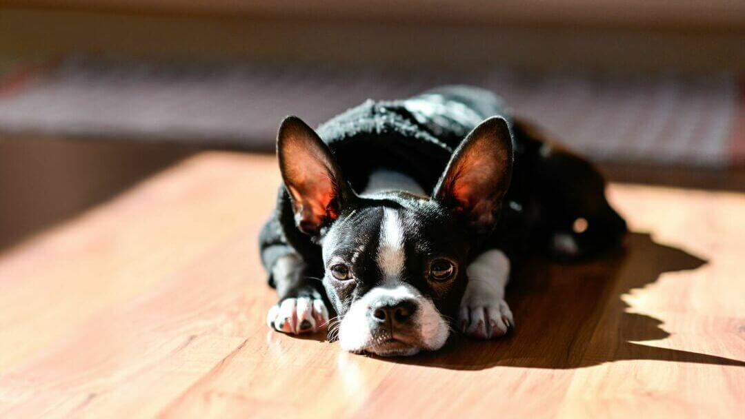 Black French Bulldog puppy lying down.