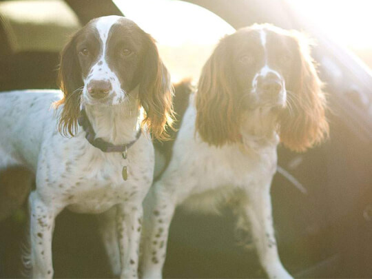 Springer spaniels in the boot of a car
