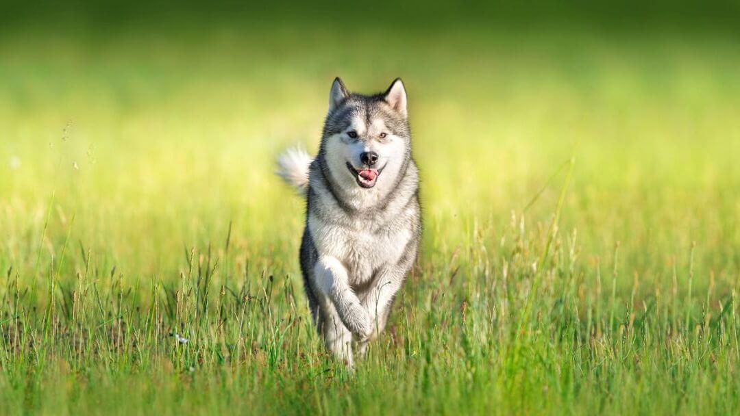 Siberian Husky running through the green grass.