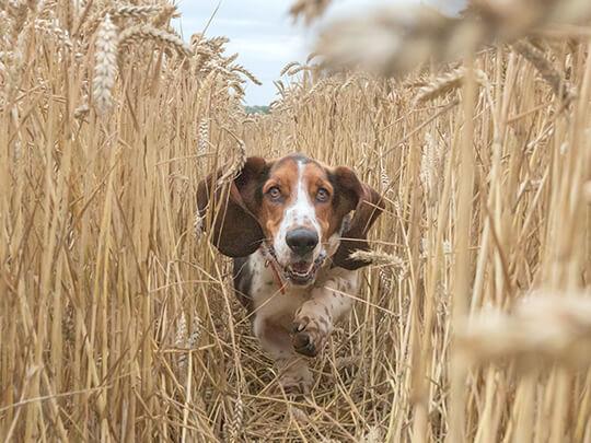 Bassett Hound running through wheat field