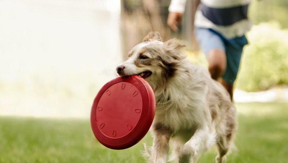 Collie running with frisbee