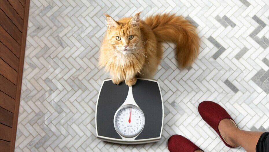 Ginger cat sitting on scales.