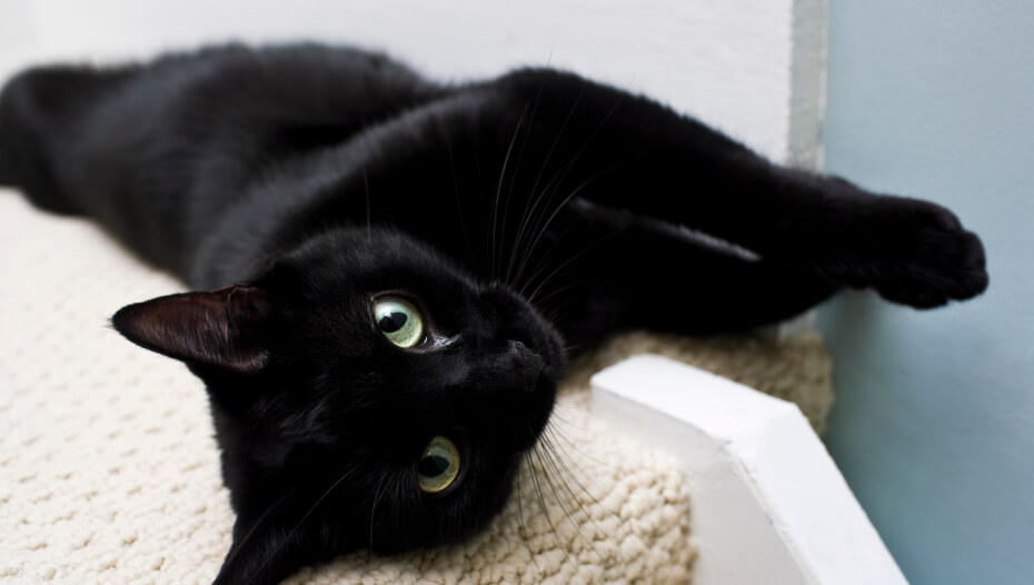 Oriental black cat with green eyes lying on side.
