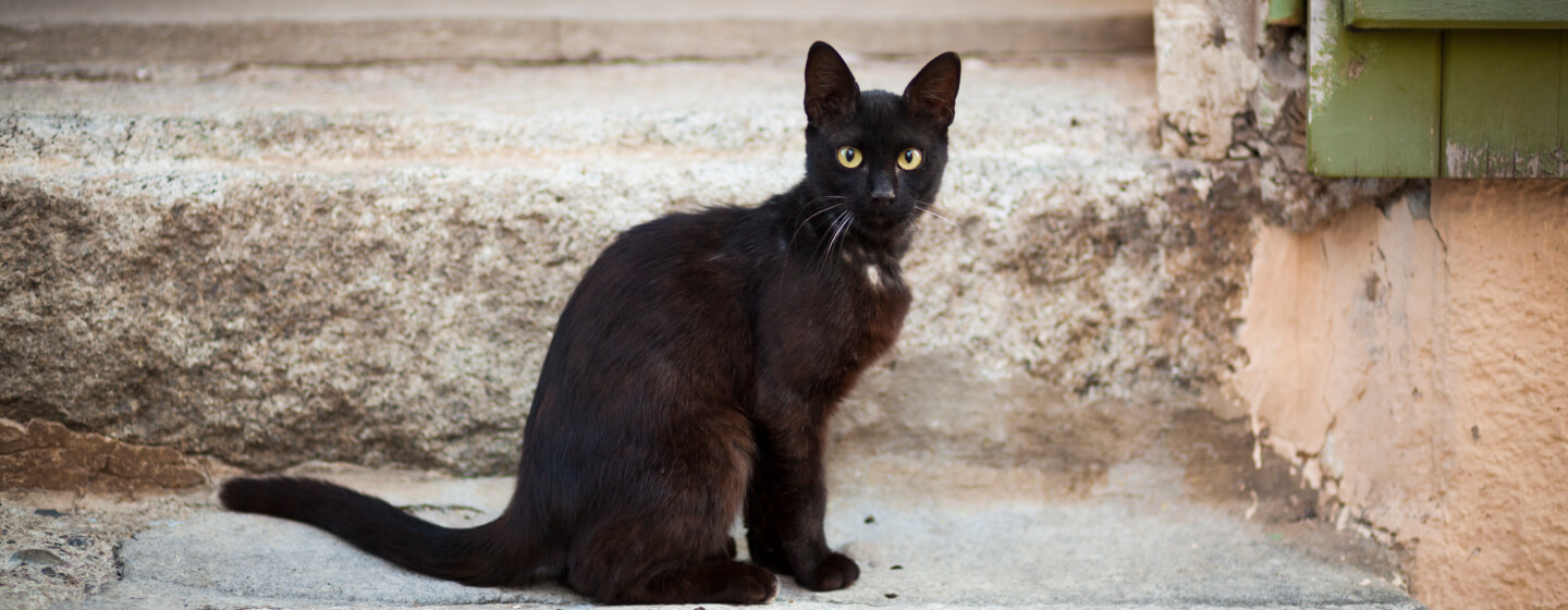7 Awesome Black Cat Breeds You Ll Want To Take Home Purina