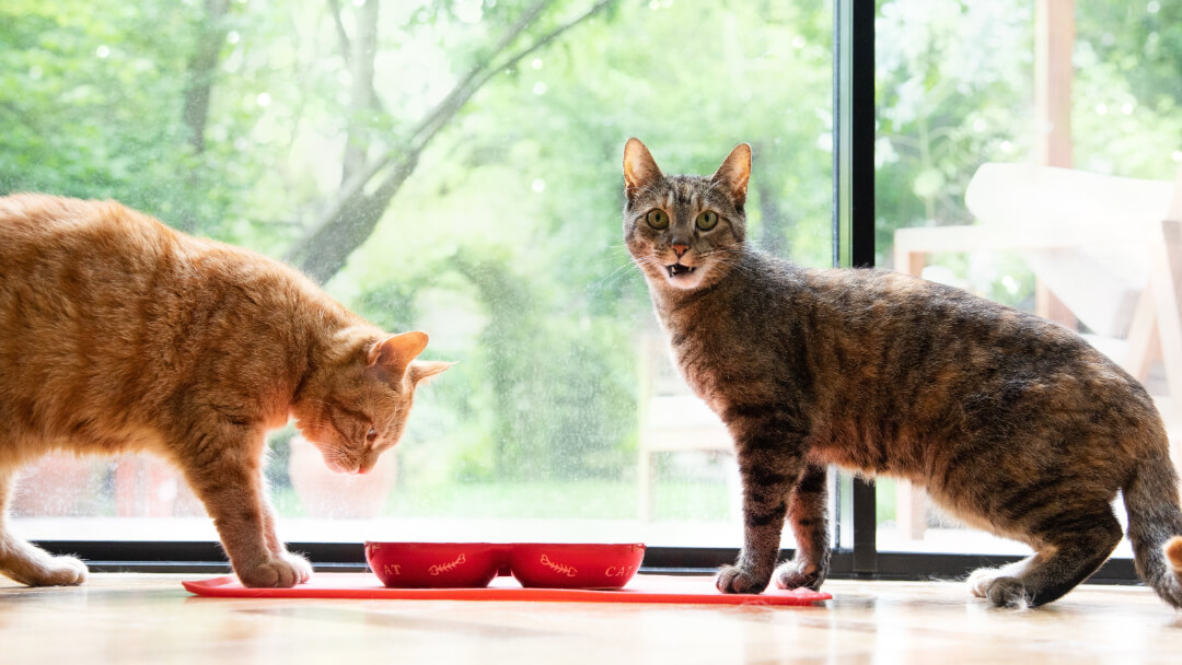 8 Of The Biggest Domestic Cat Breeds Purina
