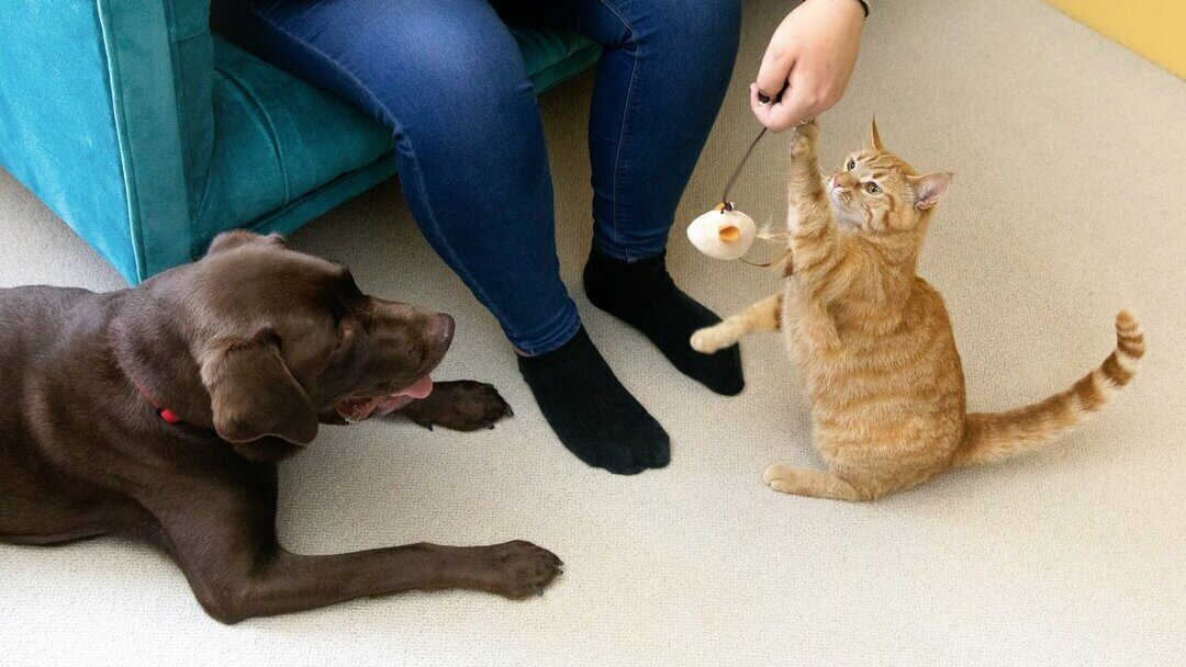 Dark chocolate Labrador with a kitten playing with toy