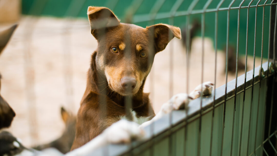 dog standing against a kennel fence