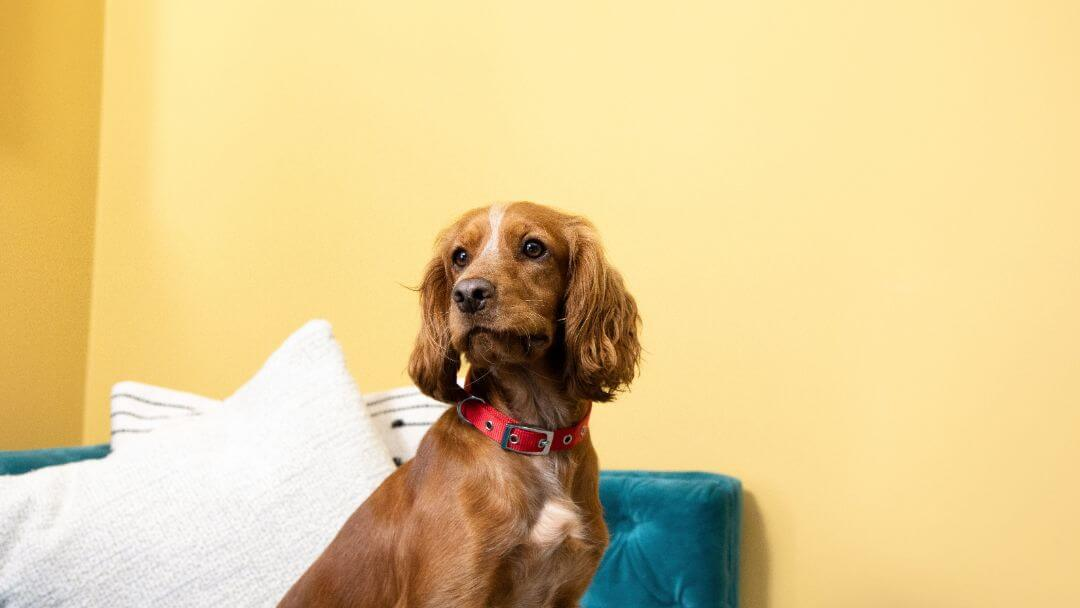 Brown Spaniel with red collar in front of yellow wall.
