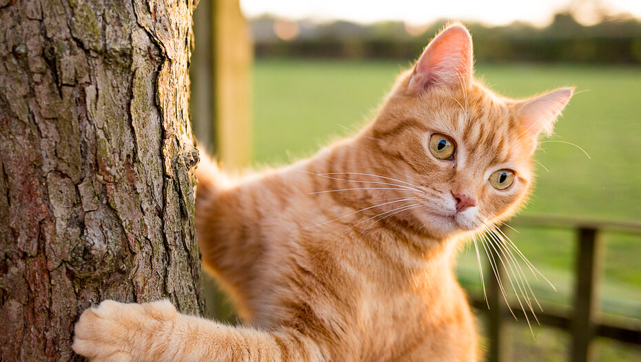 Ginger cat climbing a tree