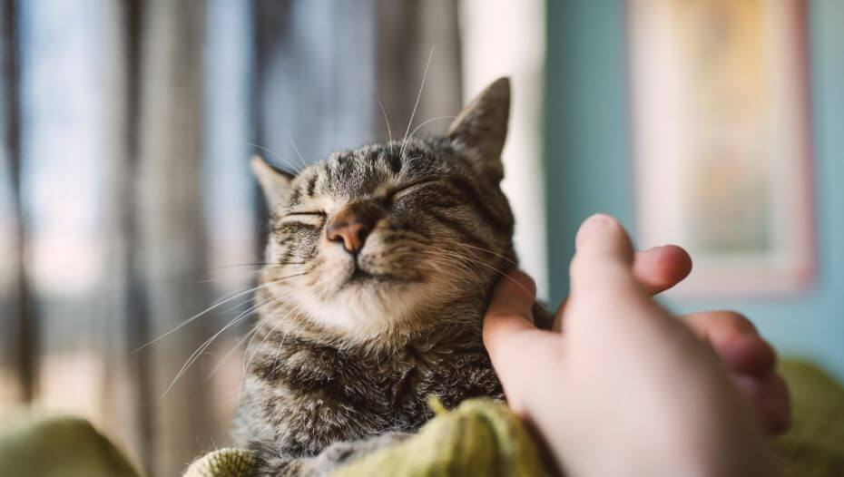 Content cat having face rubbed