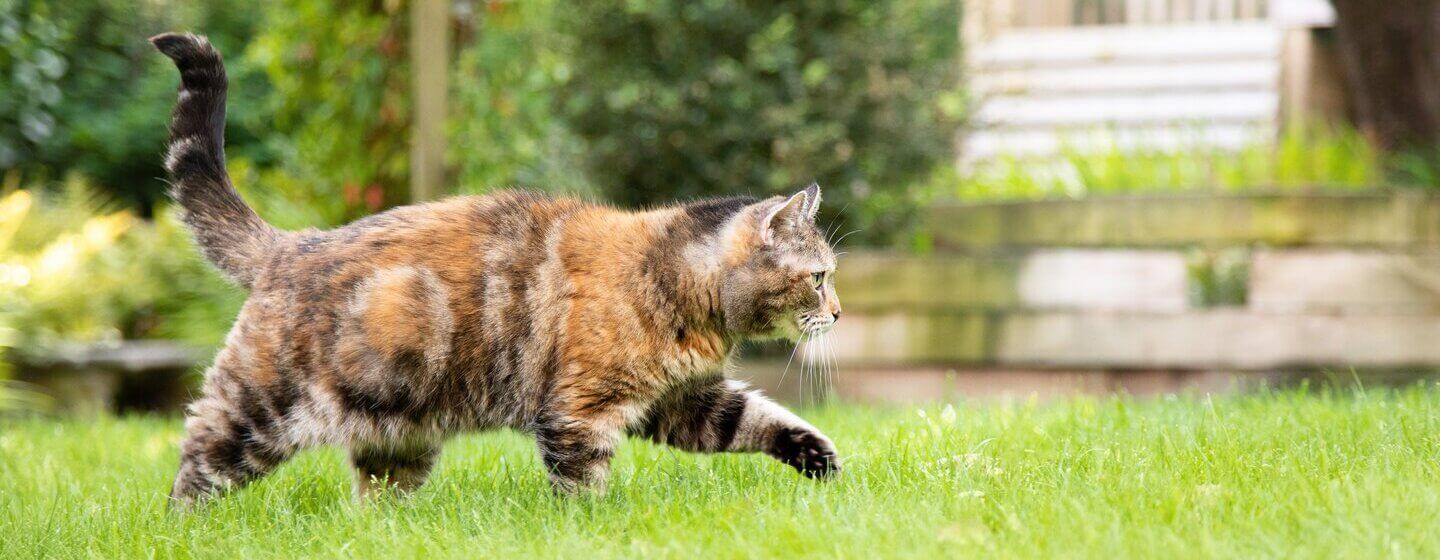 Dark brown, patchy cat walking through the grass.