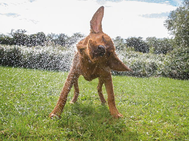 Beta dog