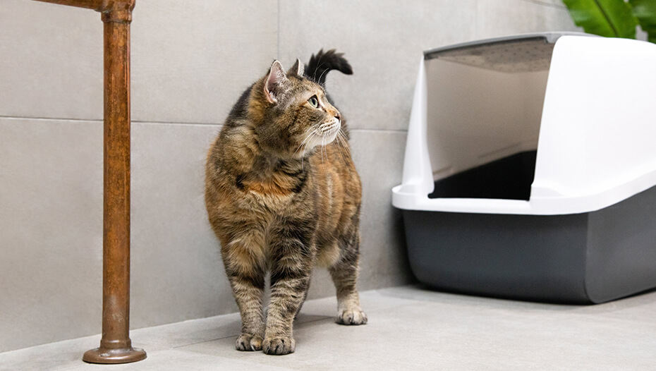 Cat standing by litterbox