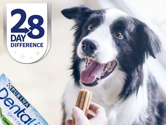 Collie waiting to be given a Dentalife stick - 28 day difference