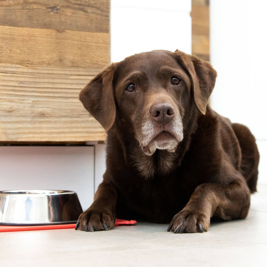 senior labrador laying next to bowl of food