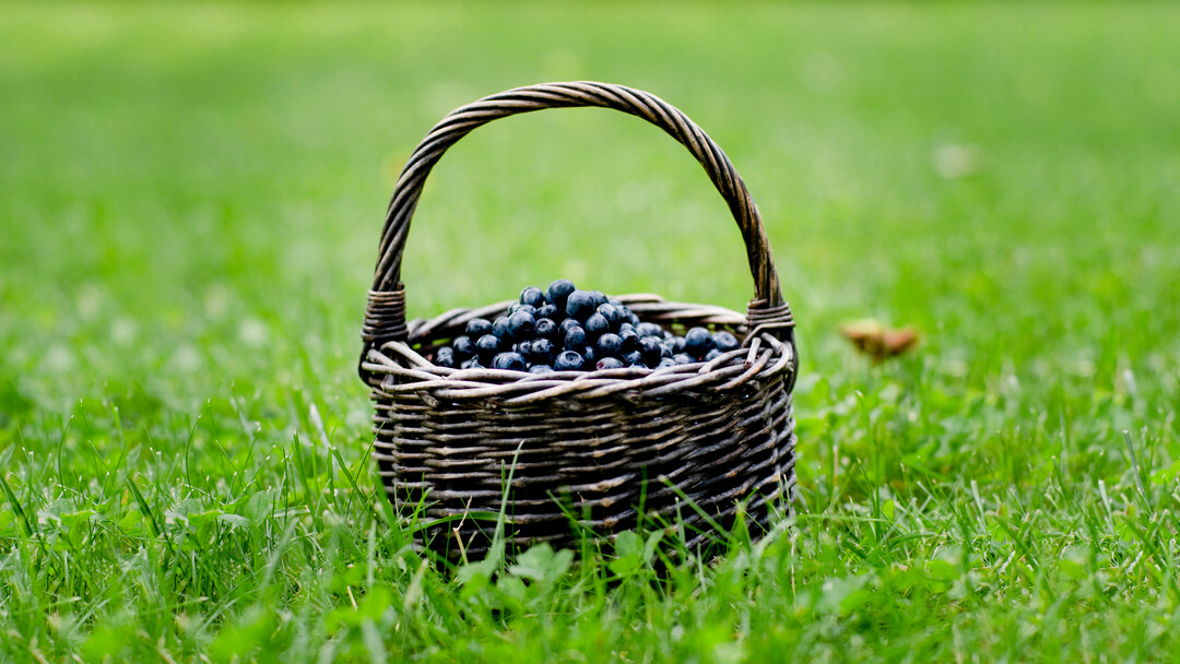 Basket of blueberries in a field