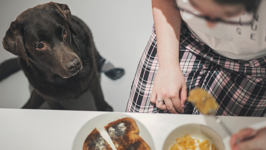 Labrador watching owner eat a bowl of cereal and a piece of toast