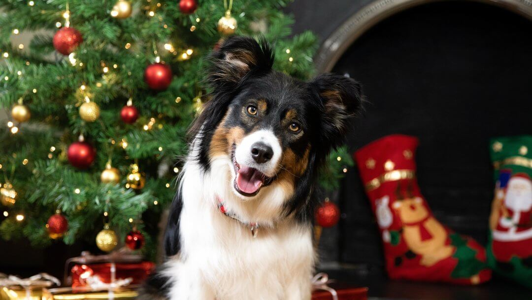 Black and white dog posing in front of a christmas tree