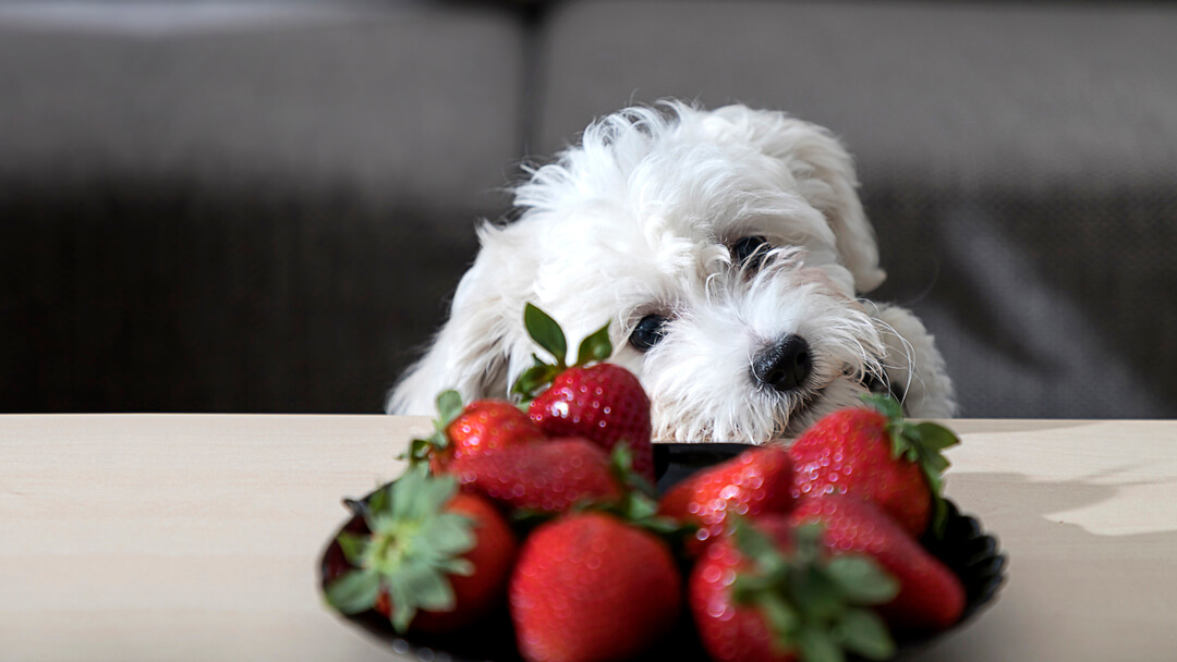 White dog looking at a bowl of strawberries