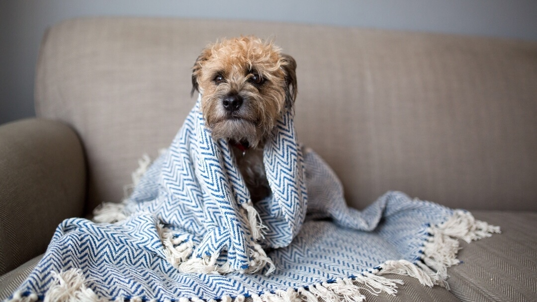 Small dog wrapped in a blue and white blanket