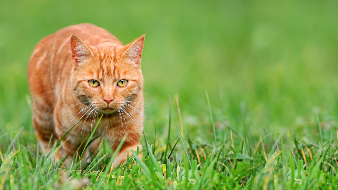 ginger cat in grass hunting