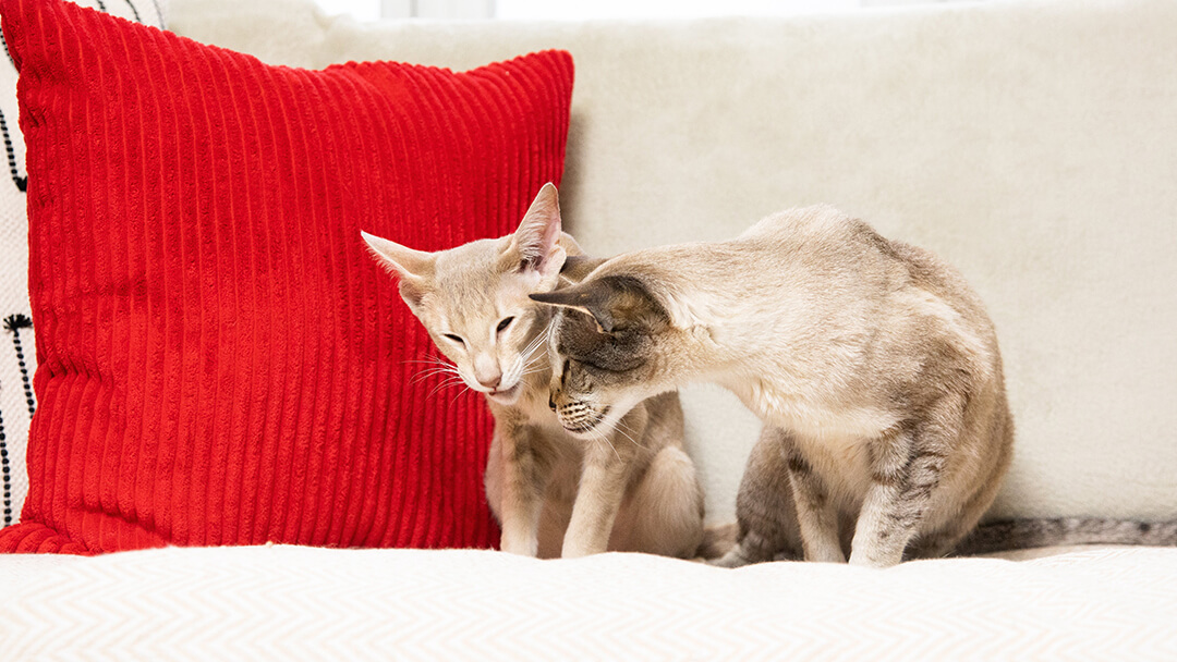 Two cats sitting on a sofa with a red cushion