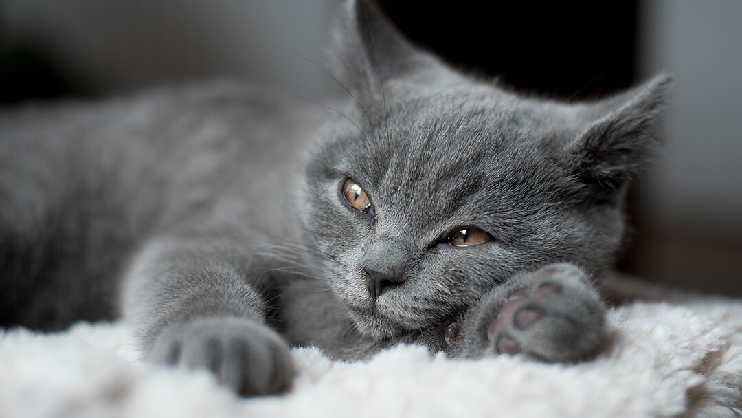 Grey cat laying down