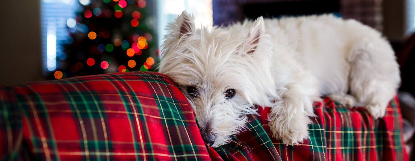 dog lying on a festive blanket with a christmas tree in the background