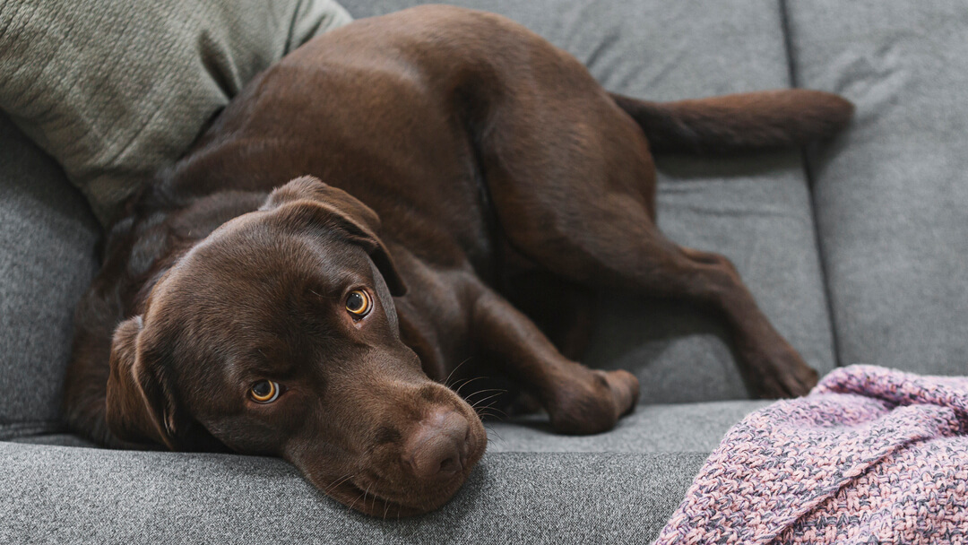 Chocolate labrador lying on a grey sofa.