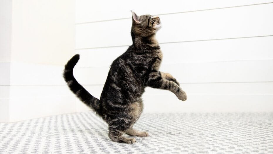Cat on its hind legs about to jump.