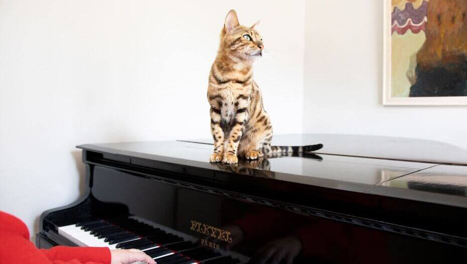 Bengal cat sitting on a piano.