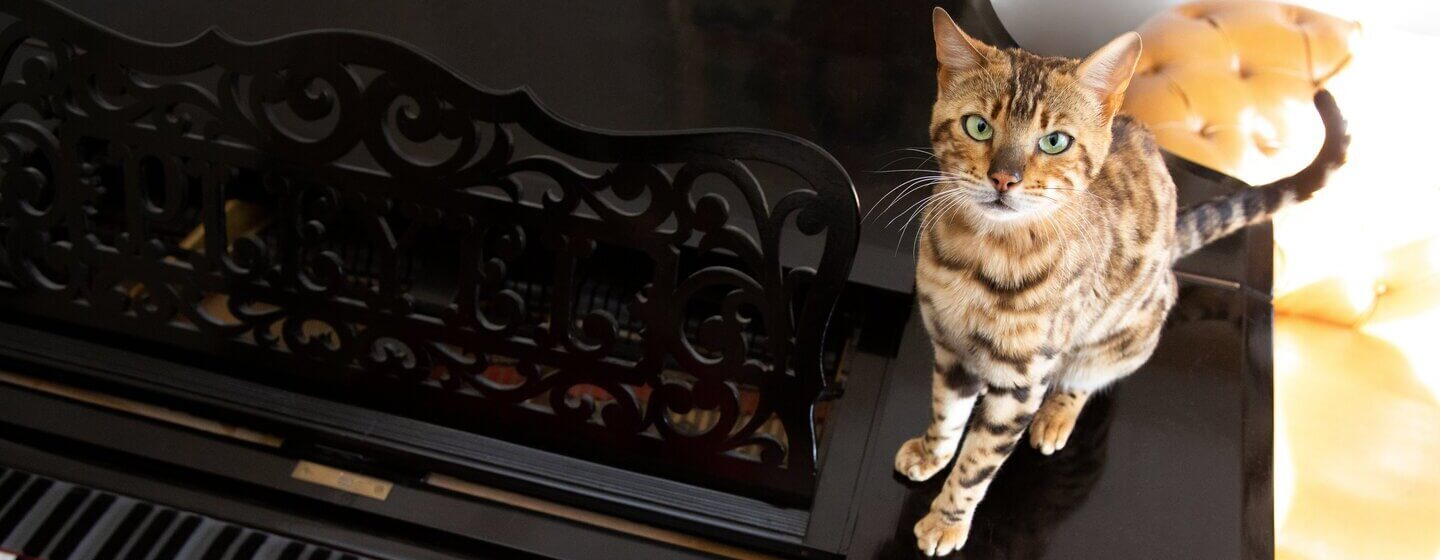Bengal cat sitting on a piano while it's being played.