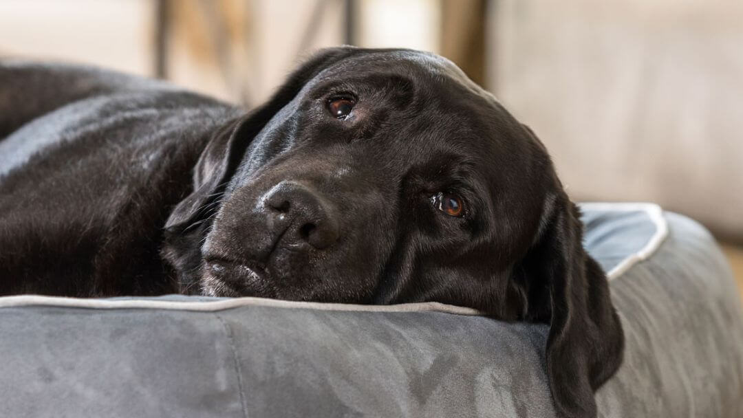 Black labrador lying on a dog bed.